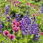 Wildblumen OR